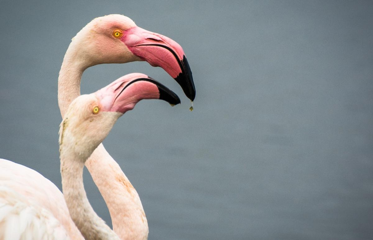Jane Wynyard Flamingos Love